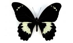 Papilio gambrisius gambrisius (Cramer, 1777)