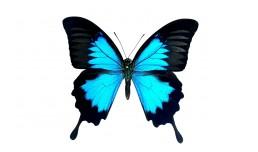 Papilio ulysses ulysses (Linnaeus, 1758)
