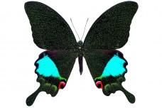 Papilio karna karna (C. & R. Felder, 1864)