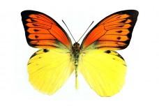Hebomoia leucippe daemonis (Fruhstorfer, 1907)