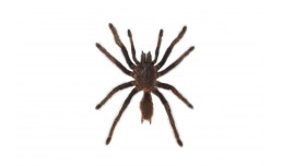 Citharacanthus spinicrus (Latreille, 1819)