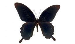 Papilio deiphobus deiphobus (Linnaeus, 1758)