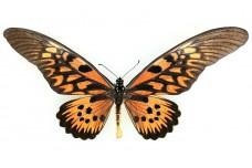 Papilio antimachus (Drury, 1782)