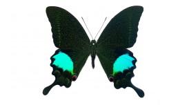 Papilio paris gedeensis (Fruhstorfer, 1893)