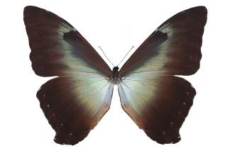 Morpho phanodemus (Hewitson, 1869)