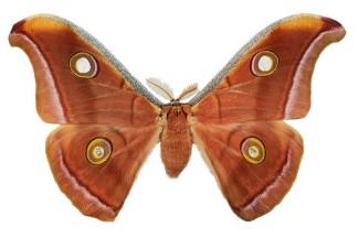 Antheraea pernyi (Guerin-Meneville, 1855)