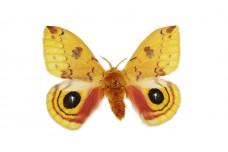 Automeris io (Fabricius, 1775)