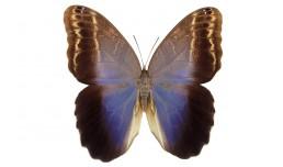Caligo brasiliensis sulanus (Felder, 1862)