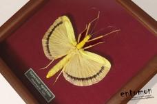 Tagesoidea nigrofasciata (female)