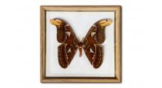 Attacus atlas (male)