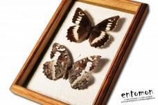 Brintesia circe (pair)