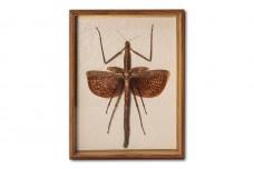 Ctenomorphodes briareus