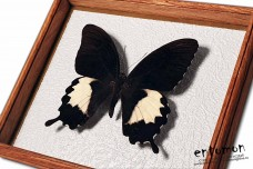 Papilio albinus