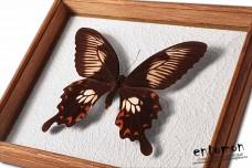 Papilio polytes (female)