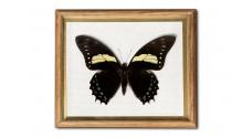 Papilio aristeus