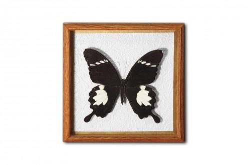 Papilio nephelus
