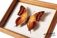 Charaxes candiope