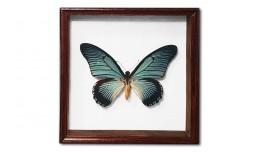 Papilio zalmoxis