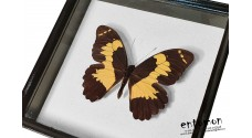 Papilio euchenor