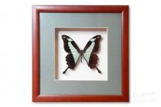 Papilio Phorcas