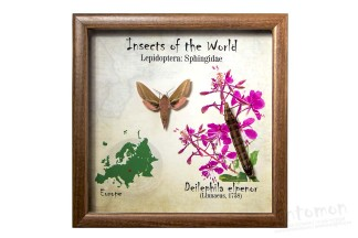 Insects of the World - Sphingidae