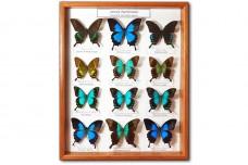 Family Papilionidae