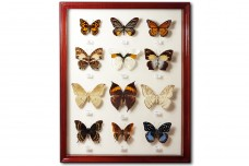 Бабочки Юго-Восточной Азии