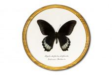 Papilio deiphobus deiphontes