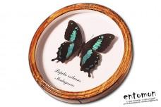 Papilio oribasus