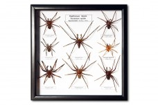 Hunstman spiders