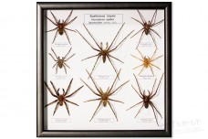 Sparassidae - Hunstman spiders