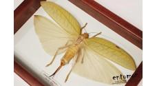 Onomarchus cretaceus (female)
