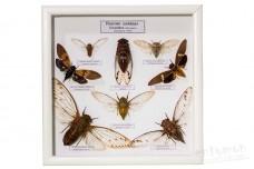 Певчие цикады (Cicadidae)