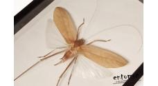 Arachnacris regalis (male)