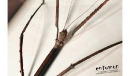 Phobaeticus serratipes (female)