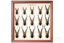 Cyclommatus metallifer (15 pcs.)