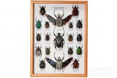 Beetles of the Africa (Goliathini)