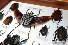 Beetles of the Africa (Goliathini)