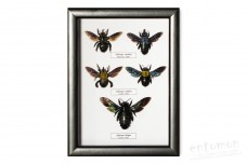 Xylocopa species (5 pcs.)