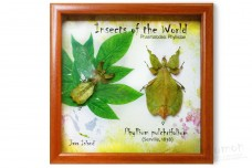 Insects of the World. Phyllium pulchrifolium