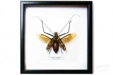 Acrocinus longimanus (female)