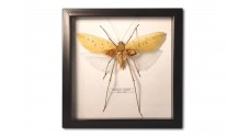 Arachnacris corporalis (male)