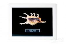 Shells (Lambis scorpios)