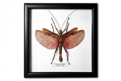 Heteropteryx dilatata (male)