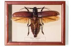 Titanus giganteus (male)
