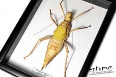 Heteropteryx dilatata (female)