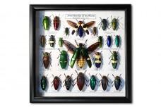 Jewel Beetles of the World
