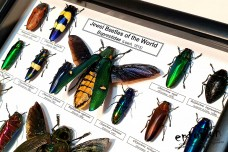 Jewel Beetles of the World