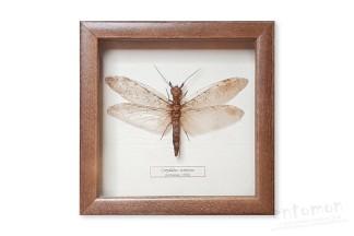 Corydalus cornutus (Linnaeus, 1758)