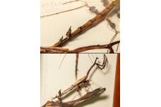 Paratoxodera cornicollis - рамка 200 x 300 x 45 мм